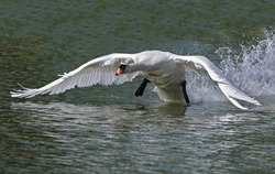 A magnificent wild white swan with a huge wingspan takes off from the surface of the water leaving a trail of spray behind it