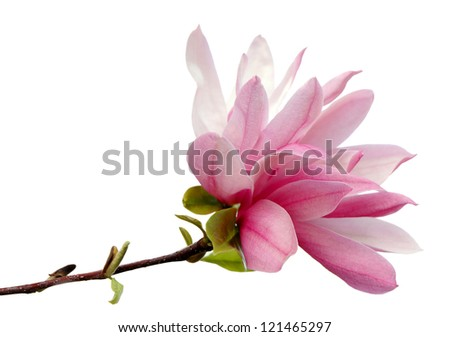 A magnolia blossom isolated on white background