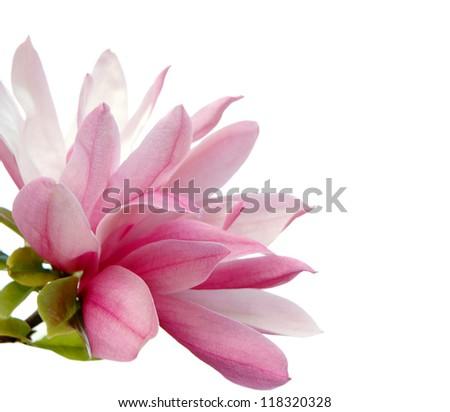 A magnolia blossom on white background
