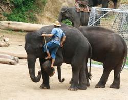 a mahout is climbing elephant, Chiang Mai, Thailand