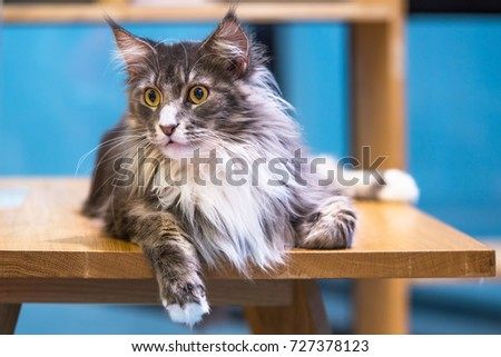 a maine coon cat is crouching...