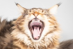 A Maine coon cat yawns with his mouth wide open