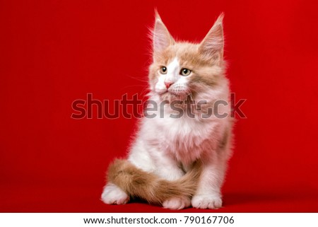 A maine coon kitten sitting on the red background in the