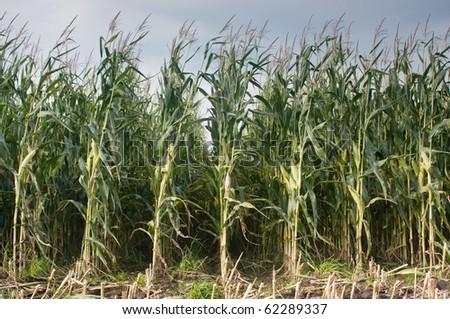 A maize field