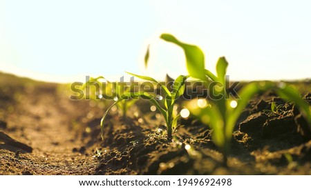 A maize rossada grows from seed from the ground in a field in spring. Growing corn. Small shoots of corn plants on plantation in the morning in the sun, on the stalks of dew drops. Agrarian business
