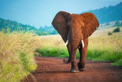 A majestic African Elephant walking down the road.