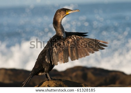 A majestic Cormorant sitting on a rock on the shore, drying its wings after a busy afternoon of fishing.