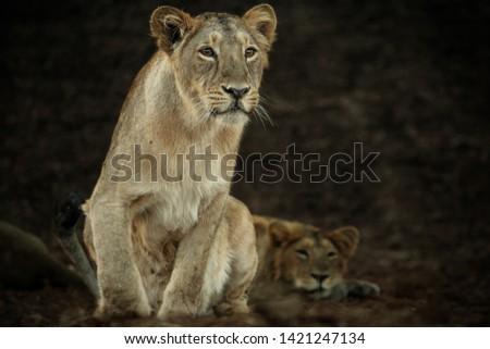A majestic female lion the photographs was taken at sasan gir, junagadh