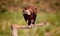 A majestic griffon vulture in spain
