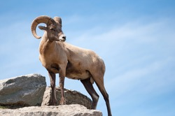 a majestic lone dall sheep ram stands on a rock against blue sky