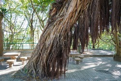 A majestic tropical tree all intertwined with roots.