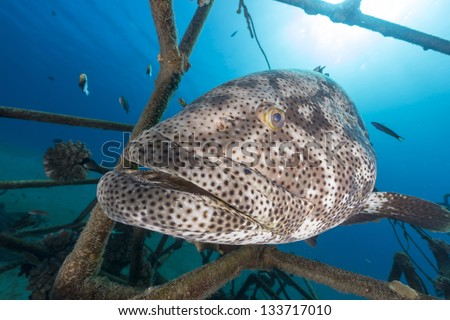 A Malabar grouper (epinephelus malabaricus) in the Red Sea.