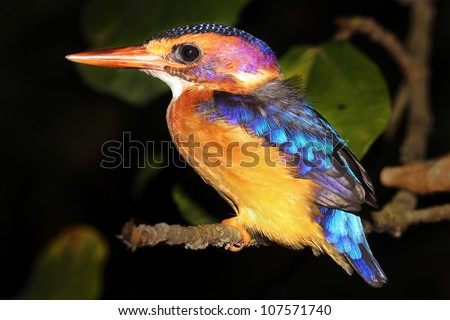 A Malachite Kingfisher (Alcedo cristata) rests on the banks of the Nile River in Uganda, Africa. Isolated on black with plenty of space for text.