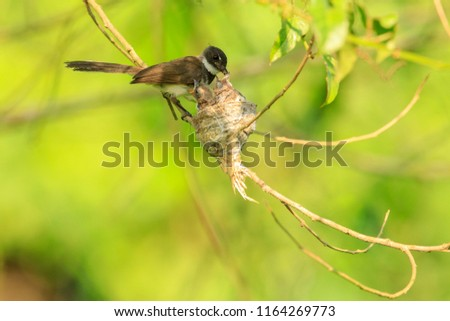 A Malaysian pied fantail bird feeds her chicks in their nest in Kranji Marshes, Singapore #1164269773