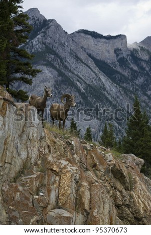 A male and a female bighorn sheep in Banff National Park (Alberta, Canada)