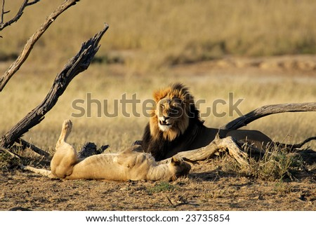 A male and female African lion (Panthera leo), Kalahari desert, South Africa