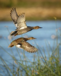 A male and female drake and hen gadwall ducks flying over water of wetlands and reeds