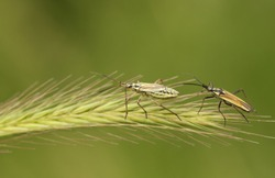 A male and female Grass Bug,  Leptopterna dolabrata, perching on a grass seed head in a meadow.