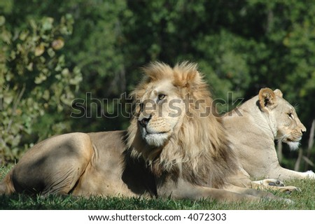 A male and female lion enjoy the afternoon in the shade.