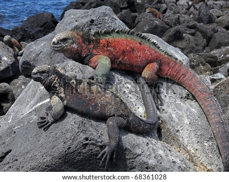 A male and female Marine Iguana (Amblyrhynchus cristatus) in the Galapagos Islands (Floreana Island)