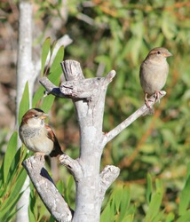 A male and female sparrow perched on branches against a background of green foliage.