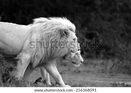 A male and female white lioness walk together in this lovely backlit image. #256368091