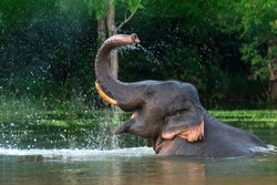 A male Asian elephant is enjoying bathing.