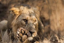 A male Asiatic Lion (Panthera leo persica) close up, washing it's paw, against a blurred natural background, Gir forest, Gujarat, India