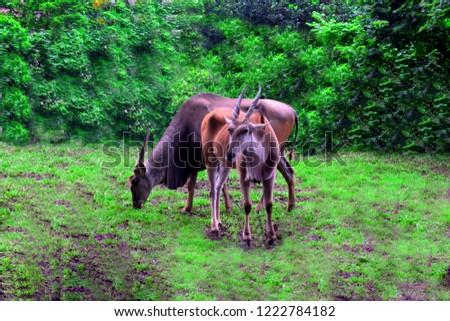 A male Axis deer/Chital deer or Spotted deer(Chitral deer) A male Chital deer/Axis deer or Spotted deer(Chitral deer) ... #1222784182