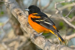 A male Baltimore Oriole is perched on a branch. Ashbridges Bay Park, Toronto, Ontario, Canada.