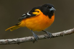 A male Baltimore Oriole is perched on a branch. Rondeau Provincial Park, Chatham-Kent, Ontario, Canada.