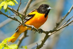 A male Baltimore Oriole is perched on a branch. Tommy Thompson Park, Toronto, Ontario, Canada.