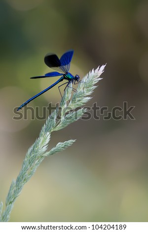 A male Banded Demoiselle (Calopteryx splendens) showing his wings on a beautiful colored background