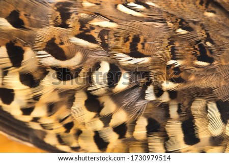 A male barred buttonquail or common bustard-quail (Turnix suscitator) isolated on white background Photo stock ©