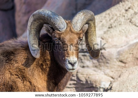 a male Bighorn Sheep with rocks surrounding it #1059277895