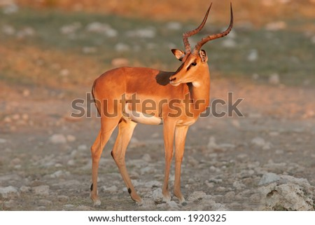 A male black-faced impala (Aepyceros melampus petersi), Etosha National Park, Namibia