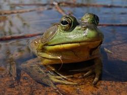 A Male Bullfrog in Ontario, Canada
