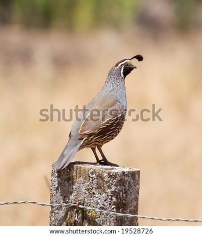 A male california quail perching on a post.