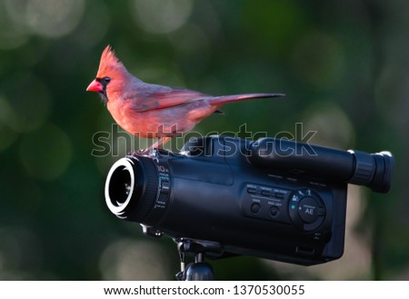 A male cardinal bird is standing on a camcorder with blur green background.
