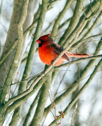 A male cardinal perched in a snow covered tree.