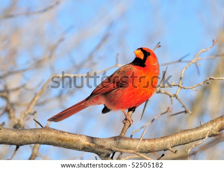 http://image.shutterstock.com/display_pic_with_logo/5855/5855,1273174392,1/stock-photo-a-male-cardinal-perched-on-a-branch-52505182.jpg