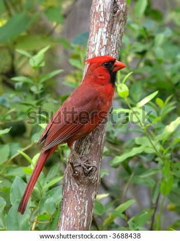 A male Cardinal sitting on a branch