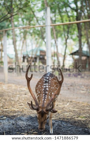 A  male Chital standing and looking at the camera.Picture of a beautiful Fallow Deer (Dama dama) in a colorful forest.Fallow Deer (Dama dama) with  walking through a  forest during Fall season.