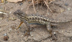 A male coast range fence lizard (Sceloporus occidentalis bocourtii), a subspecies of the western fence lizard, with blue belly visible, near Elkhorn Slough in California.