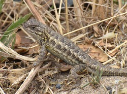 A male coast range fence lizard (Sceloporus occidentalis bocourtii), a subspecies of the western fence lizard, near Elkhorn Slough in California.