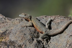 A male Common Side-blotched Lizard basks in the sun