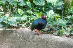 A male crested partridge (Rollulus rouloul), a gamebird in the pheasant family Phasianidae of the order Galliformes. The male is metallic green above with glossy dark blue underparts.