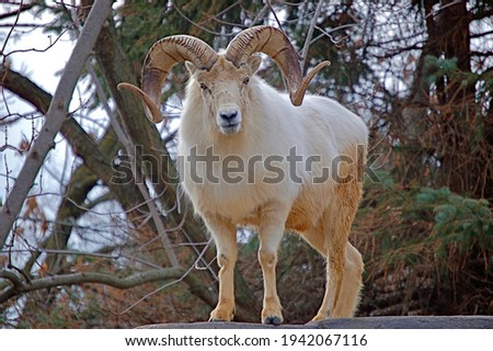 A male Dall Sheep stares straight ahead with its intense eyes and amazing curled horns from the top of a rock structure.  Photo stock ©