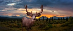 A male Deer in Canadian Nature during colorful Fall Season. Dramatic Sunset Composite. Yukon, Canada.