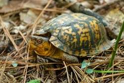A male Eastern Box Turtle with a damaged carapace in the forest. Raleigh, North Carolina.
